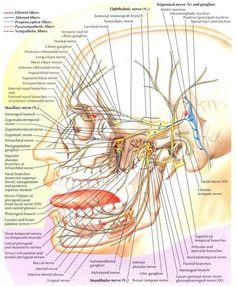 Cranial Nerve V; Fifth Cranial Nerve. On-line free medical diagnosis assistant. Dental Hygiene Student, Dental Assistant, Dental Hygienist, Dental Anatomy, Medical Anatomy, Occipital Neuralgia, Facial Anatomy, Facial Nerve, Spine Health