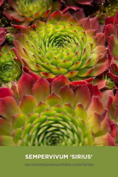 """This beautiful Sempervivum forms a large green rosette. The tips of the leaves flush red when it is """"happily stressed,"""" adding a lot of color to your garden. Although it is monocarpic, the """"Hen"""" puts off many chicks before it dies. Types Of Succulents, Cacti And Succulents, Planting Succulents, Garden Plants, Die Macher, Tall Plants, Indoor Plants, Sempervivum, Crassula Ovata"""