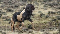 In his prime at 13 years of age, the magnificent herd stallion, Washakie, asserts his dominance over the lesser stallions at McCullough Peaks Herd Management Area.