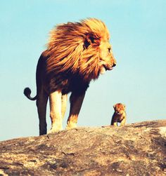 Daddy lion and baby