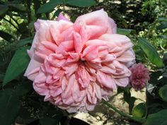 Monsieur Tillier, an old fashioned Tea rose. - photo by Geneva Anderson