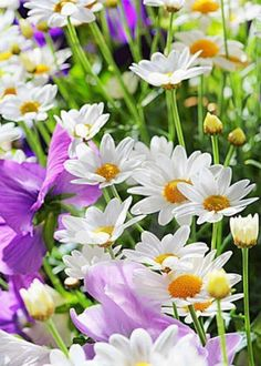 Tips To Help You Succeed With Organic Gardening – Flowers and Gardening Sunflowers And Daisies, Wild Flowers, Summer Flowers, Beautiful Flower Arrangements, Beautiful Flowers, Strawberry Garden, Daisy Love, Belleza Natural, Prado