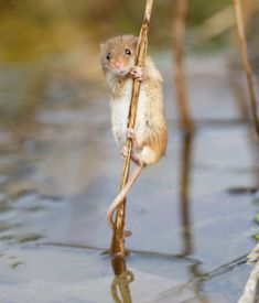 A harvest mouse climbs a reed near Corwen, north Wales