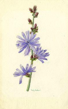 Somerset & Wood Fine Art | Botanical Art | Emily Ledbrook, Wild Chicory or Succory Flower - Original 1911 watercolour painting £36 #FreeShipping #OriginalArt #ArtForSale #OwnArt