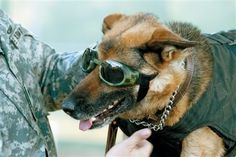"Bomb-sniffing dog Staff Sgt. Britt gets outfitted with a bomb jacket and ""doggles"" by her handler, Spc. James Tuman, at Fort Huachuca, Ariz., on Wednesday, April 12, 2006. The fort's 18th Military Police Detachment and its Military Working Dog Section are under the Training and Doctrine Command. The detachment recently was honored as the best MP unit in TRADOC. (AP Photo/Sierra Vista Herald, Ed Honda)"