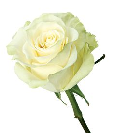 Mondial Roses   Delaware Valley Wholesale Florist - Zoom View