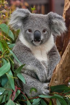 The koala is an arboreal herbivorous marsupial native to Australia.
