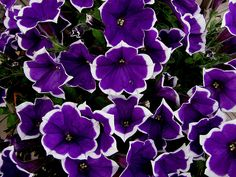 235 Best Purple White Flowers Images Gardens Beautiful Flowers