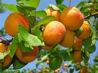 Interesting information about the juicy and bright Armenian fruits: apricot, grapes, pomegranate. Fruit And Veg, Fruits And Vegetables, Fresh Fruit, Beautiful Fruits, Beautiful Gardens, Apricot Health Benefits, Candied Almonds, Comment Planter, Orange Fruit