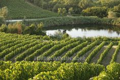 Kir Yianni Vineyard Pond, Yiannakochori, Naoussa, Greece