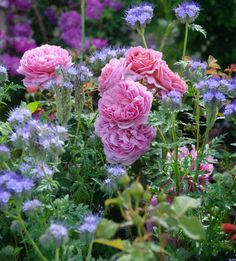 PHACELIA TANACETIFOLIA, fiddleneck, Escorpión Weed, púrpura Tansy, Lacy phacelia, Fernleaf fiddleneck, púrpura de las flores, púrpura anual