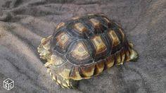 Animal de compagnie - Tortue sulcata de 5 ans