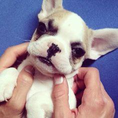 Meet Tony the French Puppy<3