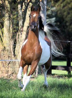 Ima Painted Gypsy - Pinto Half Arabian Mare