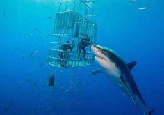 Это самая большая белая акула, которую удалось сфотографировать
