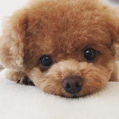 #toypoodle#toypoodlelove#instadog#instapoodle#dogstagram#dog#トイプードル#親ばか#ふわもこ部#ふわ#ふわふわ