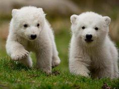 Die beiden 14 Wochen alten Eisbären-Zwillinge erkunden die Gegend. Foto: Sven Hoppe