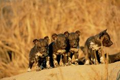 Four-week old African wild dog pups, Gowrie, Mpumalanga province, South Africa photo