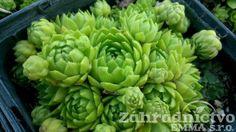 Jovibarba globifera subsp. globifera 'Green Globe'