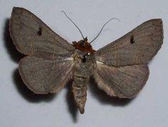 8587 – Panopoda rufimargo – Red-lined Panopoda Moth – (Hübner, 1818)