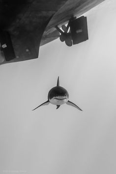 A male great white shark (Carcharodon carcharias) glides smoothly through the water, as he passes under a boat. The shark moves through the water so seemingly effortlessly that it reminds me of flying. The Great White, Great White Shark, Beautiful Creatures, Animals Beautiful, Regard Animal, Save The Sharks, Shark Bait, Shark Fish, Big Shark