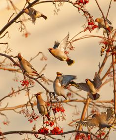 ~~Ash noise ~ A multitude of Waxwings doing their thing in an Ash Tree by Dmitry Dubikovskiy~~