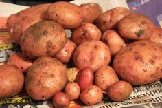 My first maincrop potatoes Sirpo Mira.. delicious!