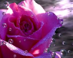 Pink Rose    Download More Free Wallpaper Visit Freedesktopwallpaperz.net