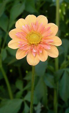 flowersgardenlove:  **Pale Tiger Dahlia Beautiful gorgeous pretty flowers