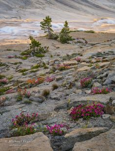Wildflower, creek, and reflections in the high country, Yosemite NP, CA, USA