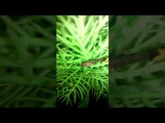 My fry Guppy hide in the plants zoom in inside my 1 million guppies fish...