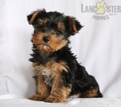 #YorkshireTerrier #Charming #PinterestPuppies #PuppiesOfPinterest #Puppy #Puppies #Pups #Pup #Funloving #Sweet #PuppyLove #Cute #Cuddly #Adorable #ForTheLoveOfADog #MansBestFriend #Animals #Dog #Pet #Pets #ChildrenFriendly #PuppyandChildren #ChildandPuppy #BuckeyePuppies www.BuckeyePuppies.com Yorkshire Terrier Puppies, Puppies For Sale, Mans Best Friend, Puppy Love, Pets, Animals, Animales, Animaux, First Love