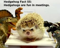 Fact: Hedgehogs are fun in many work environments, as well as non-work…