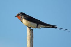 Barn swallow | Flickr - Photo Sharing!