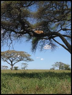 Serengeti National Park, Tanzania - stoked to have seen it in person. Yes, that is a lion sleeping in a tree.