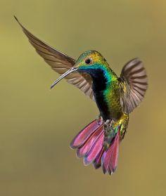 WOW amazing beautiful hummingbird