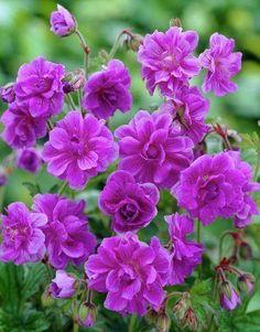 Flowers Nature, Geraniums, Dark Side, Garden, Plants, Garten, Lawn And Garden, Gardens, Tuin