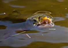 trout catch fly