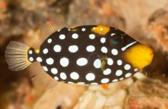 A clown triggerfish was recently added to our Displaying gallery! #AnimalUpdate