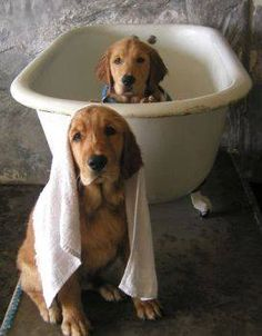Bath time for Goldens