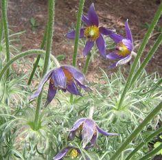 Dr. Seuss Flowers, Lyndale Peace Garden, Minneapolis, May