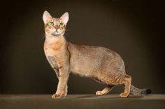 Rare Breed Cougar 111