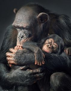 Ruma and Vali - mother and son. In their habitat in the forests of central Africa, chimpan...