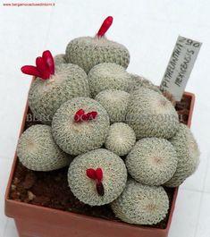 Bergamo Cactus e Dintorni - Collezione Privata, epithelantha mexicensis