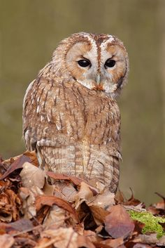 Tawny Owl.     Don't be ridiculous, of course I don't have eyes in the back of my head. The back of my head is facing the other way.