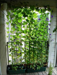 Perfect way to grow peas on the side of my balcony. build a light wooden frame and have a window box at the bottom!