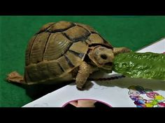 tortoise eating lettuce: play with Tortoise : my cute pet - تعلم بالعربي Best Kids Toys, Lettuce, Tortoise, Cool Kids, Turtle, Cute Animals, Play, Learning, Tortoise Turtle