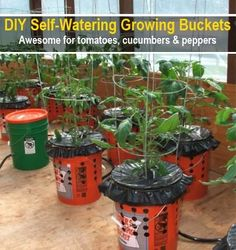 DIY Self Watering Alaska Grow Buckets (click on the link to view video