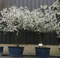 Amelanchier lamarckii copper pear multi-stemmed large shrubby wood which grows initially upright and later funnel-shaped. Landscaping Around Trees, Modern Landscaping, Backyard Landscaping, Amazing Gardens, Beautiful Gardens, Olive Garden, Potted Trees, Mediterranean Garden, White Gardens
