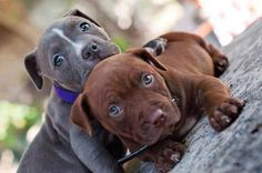 pit puppies - they're both adorable, but I love that chocolate color